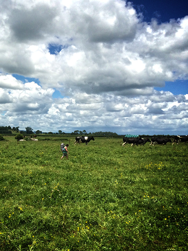 Low cost webdesign in NZ - Matamata farm - Clouds, green grass, cows