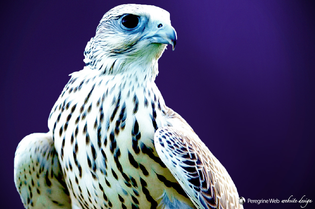 Fierce-looking Gyrfalcon