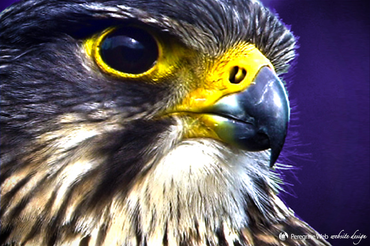 NZ Falcon Closeup